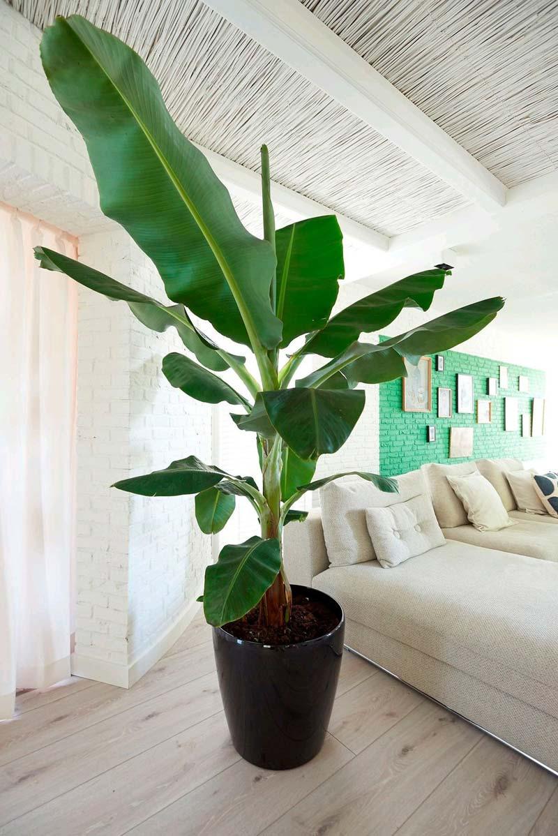 Banenenplant