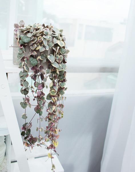 chinees lantaarnplantje bij raam