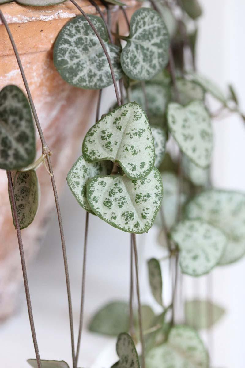 chinees lantaarnplantje hartvormige bladeren