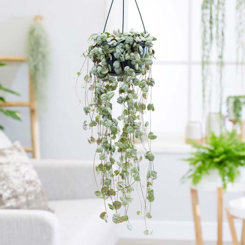 chinees lantaarnplantje ophangen