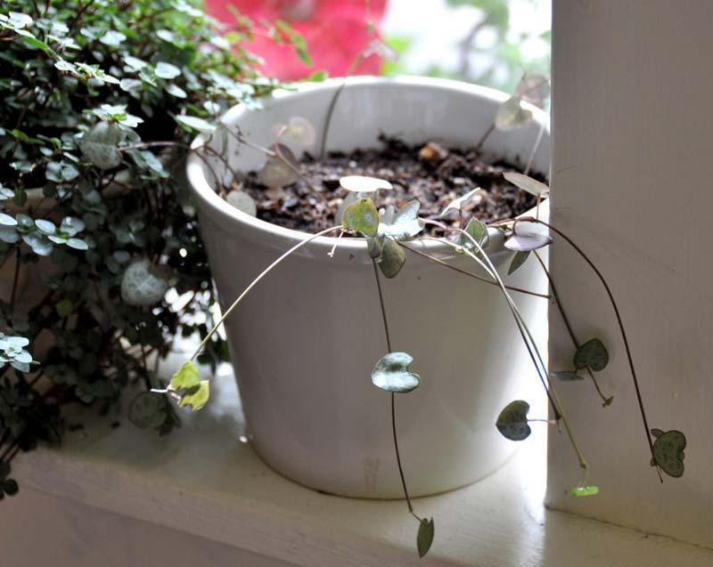 chinees lantaarnplantje stekken grond