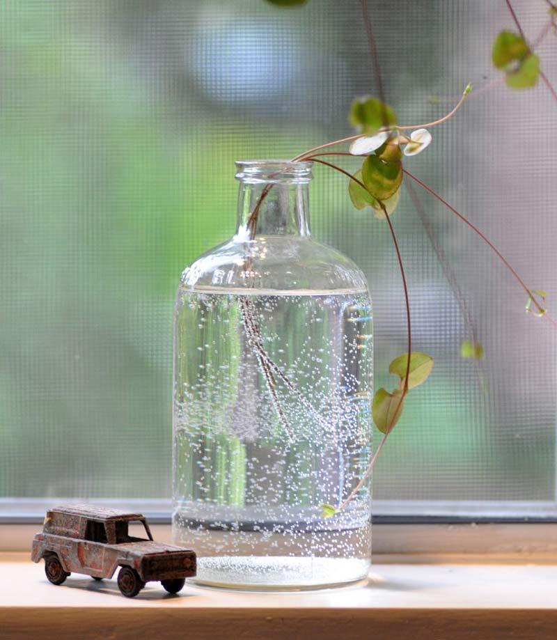 chinees lantaarnplantje stekken water