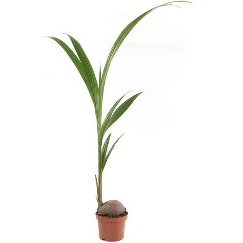 Kokospalm (Cocos Nucifera) – P 19 cm