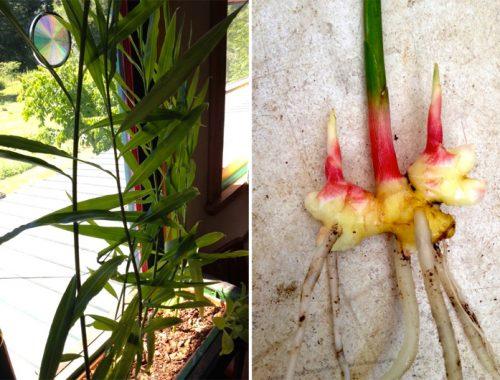 Gemberplant kweken