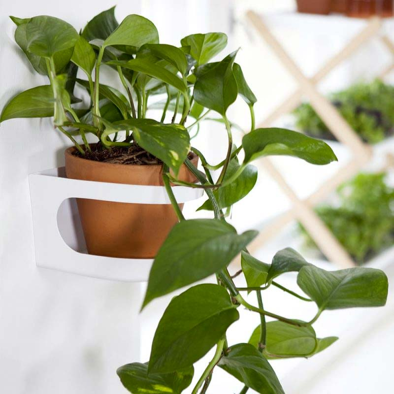 hangplant Epipremnum Pinnatum