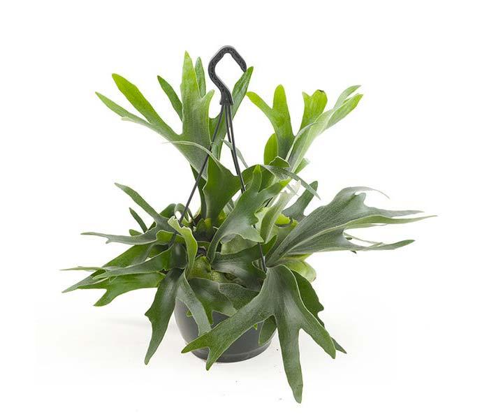 hangplant Hertshoornvaren