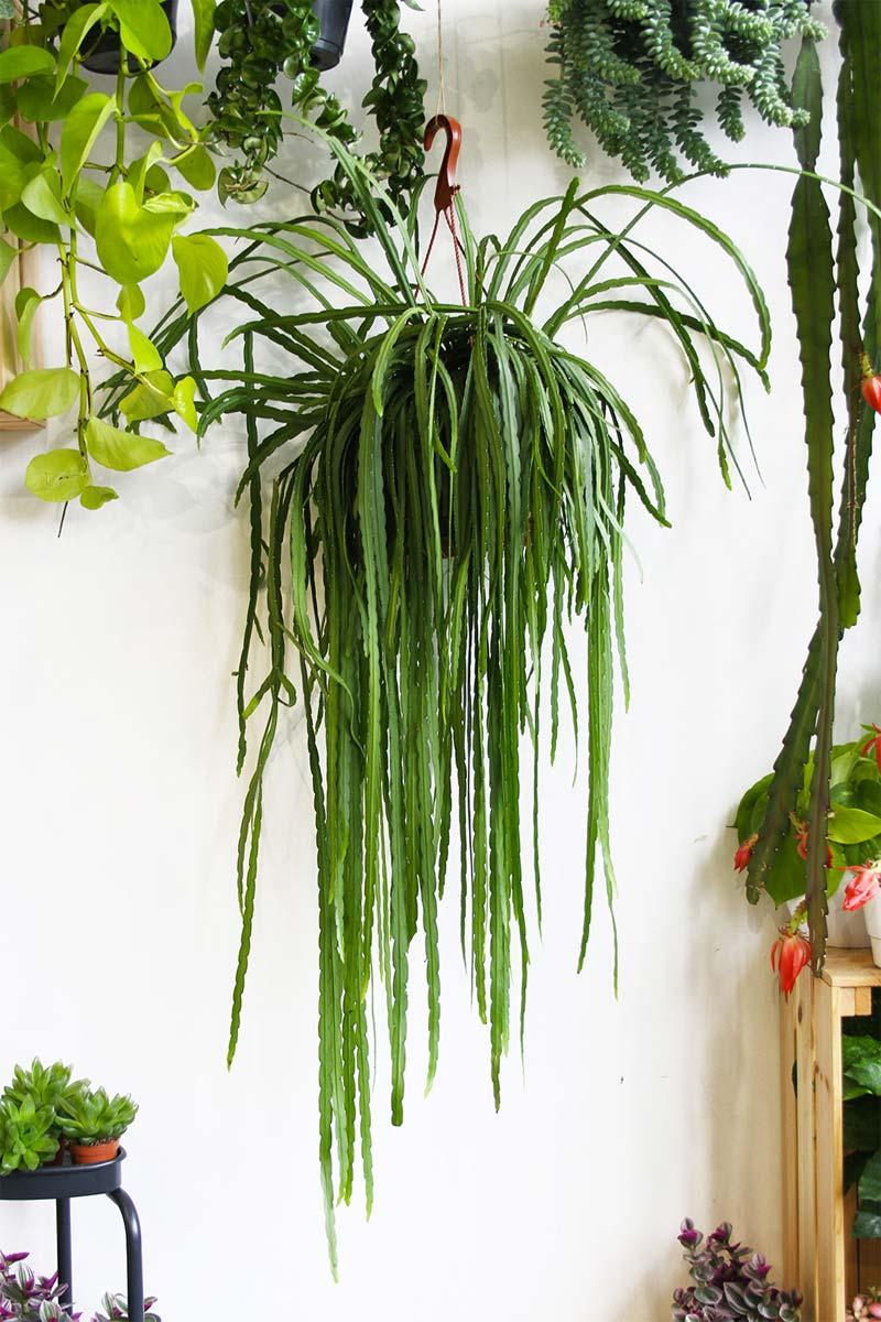 hangplant Lepismium Bolivianum