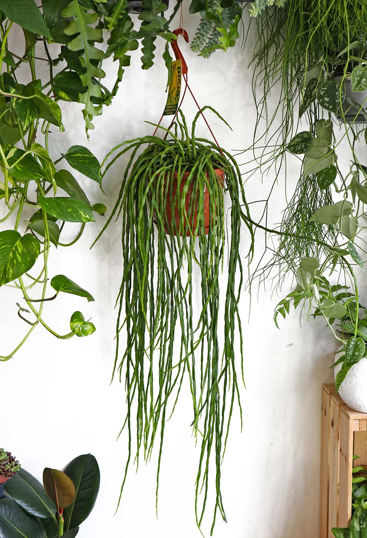 hangplant Rhipsalis Paradoxa