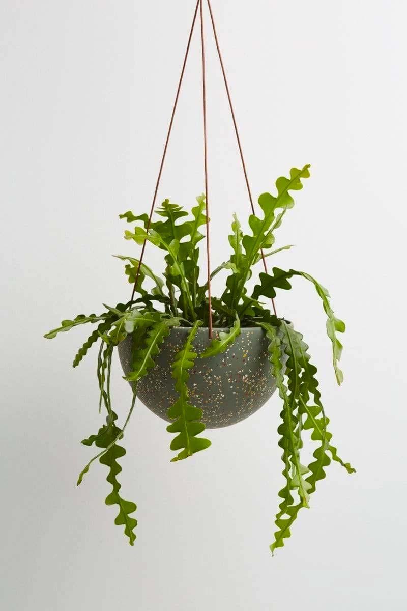 hangplant zaagcactus