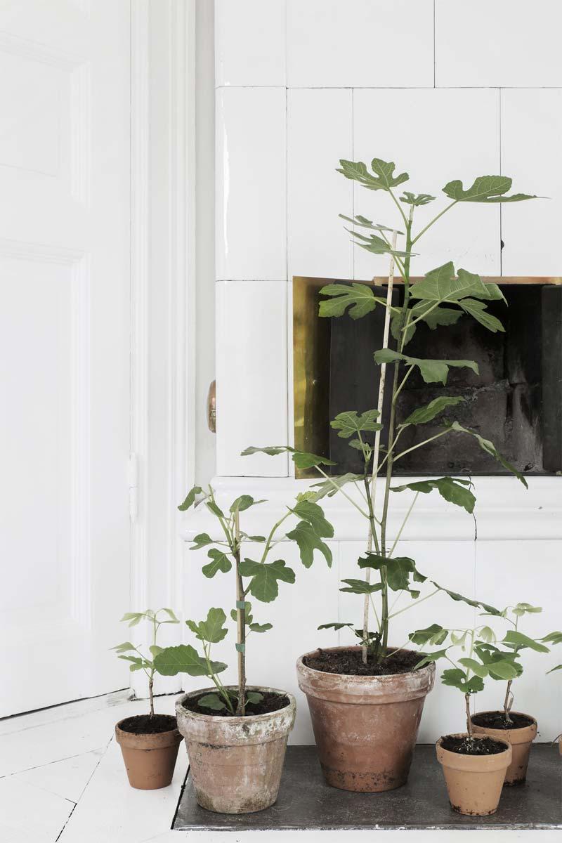 kleine vijgenbomen in terracotta pot