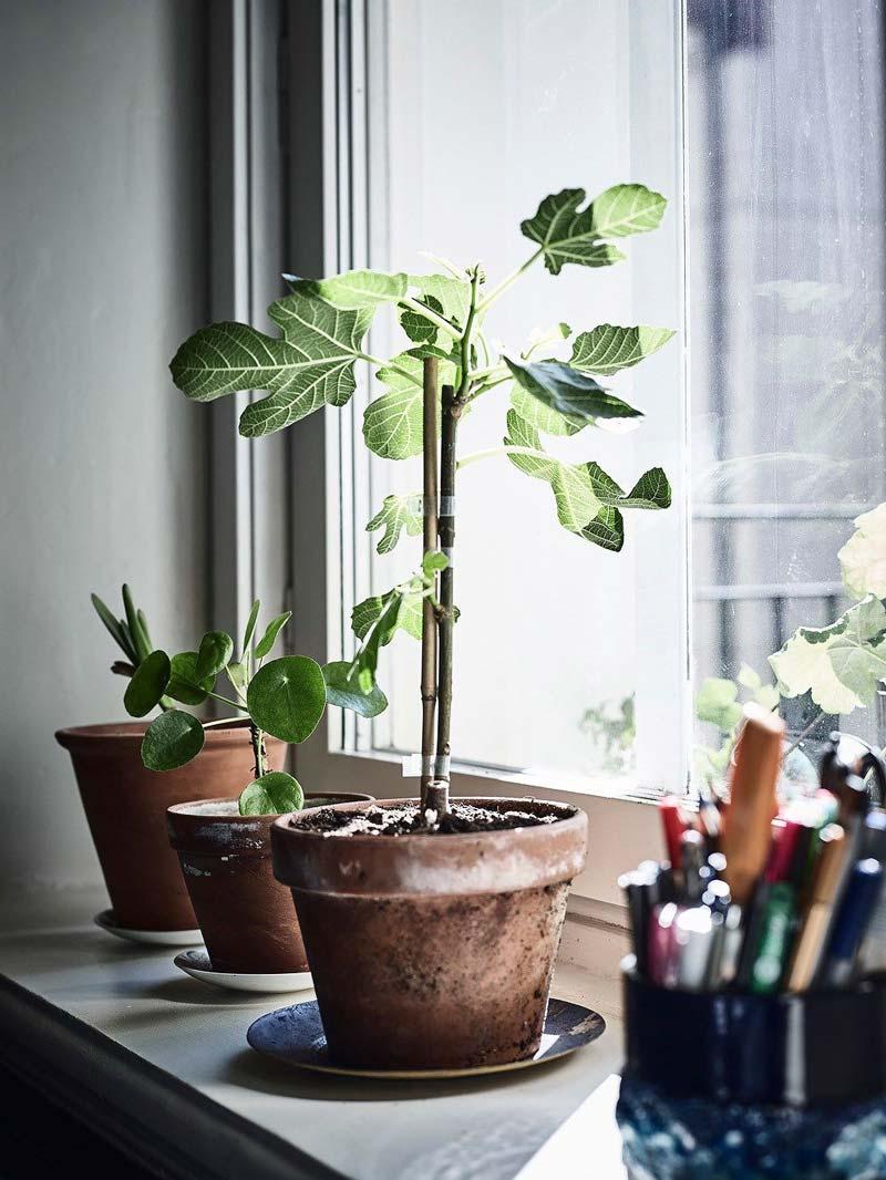 kleine vijgenboompjes