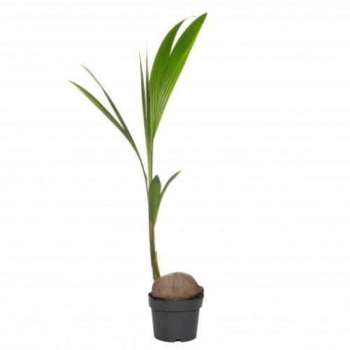 kokospalm-intratuin-kopen