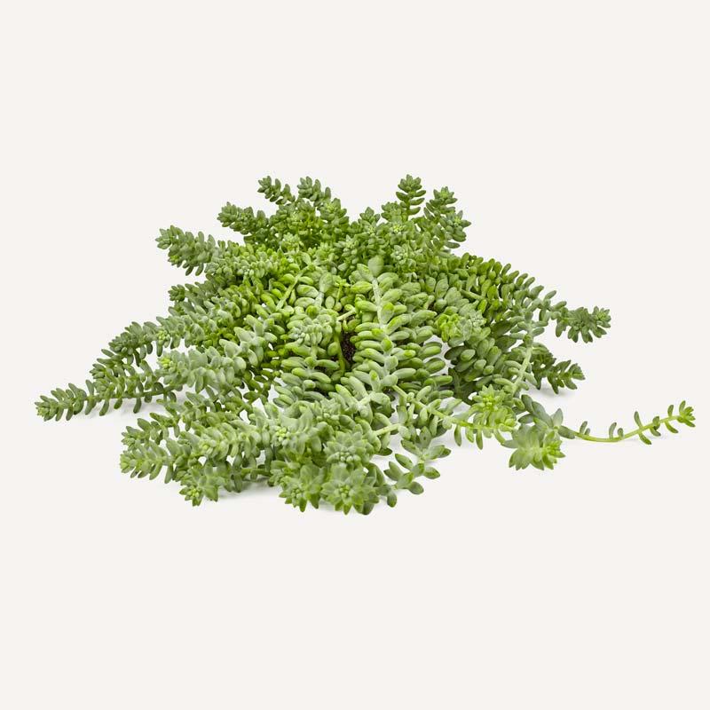 niet giftige planten voor katten Sedum morganianum Burrito