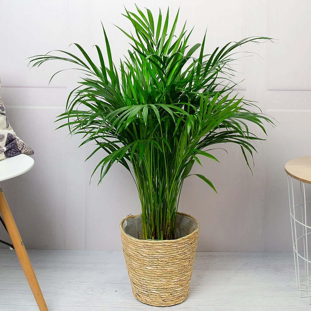 niet giftige planten voor katten palmen