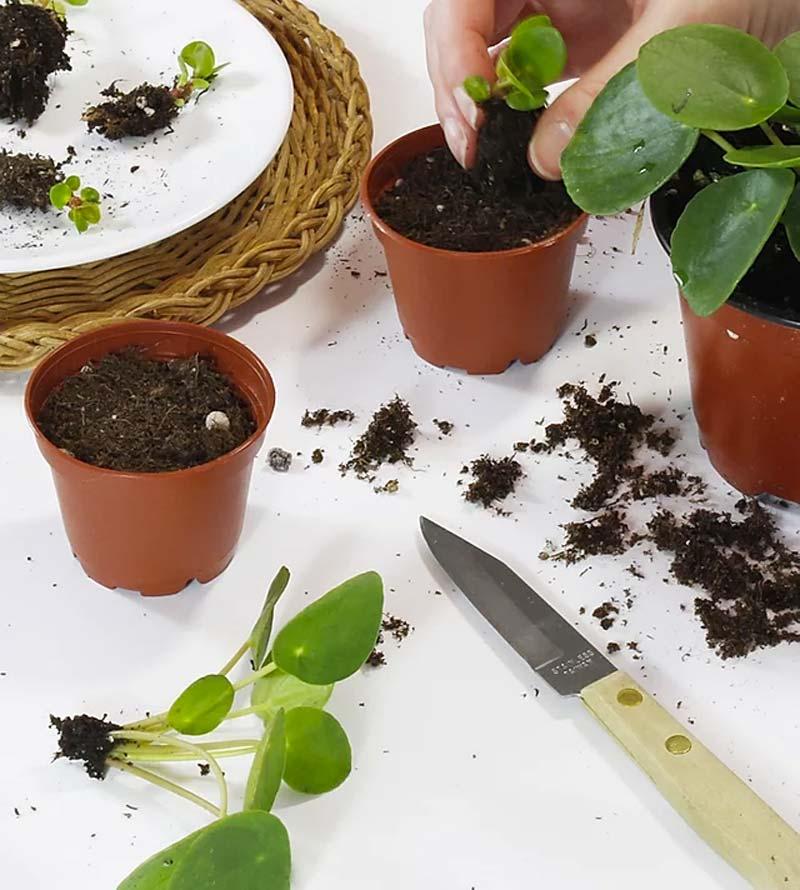 pannenkoekplant stekken met grond