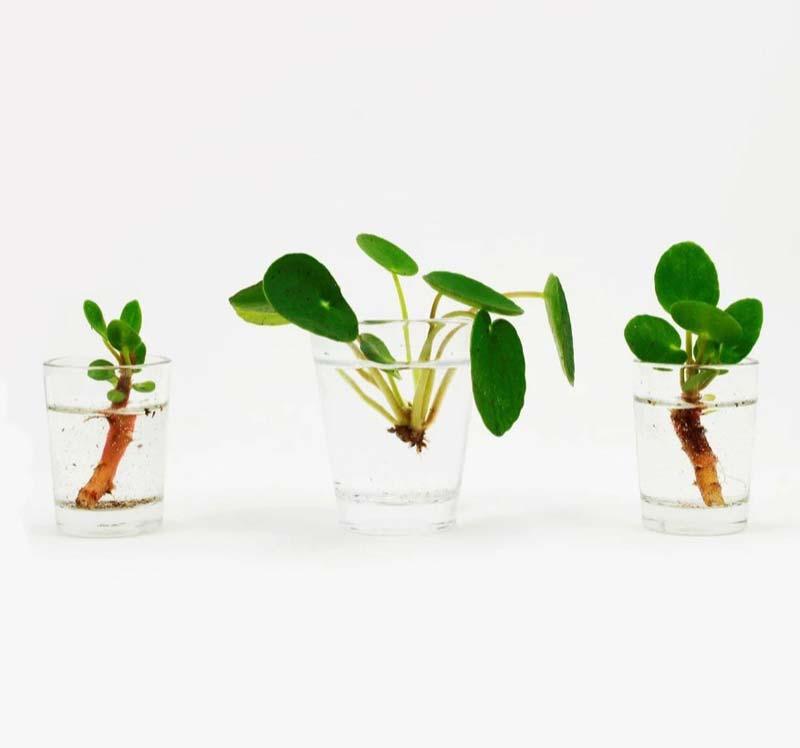 pannenkoekplant stekken met water