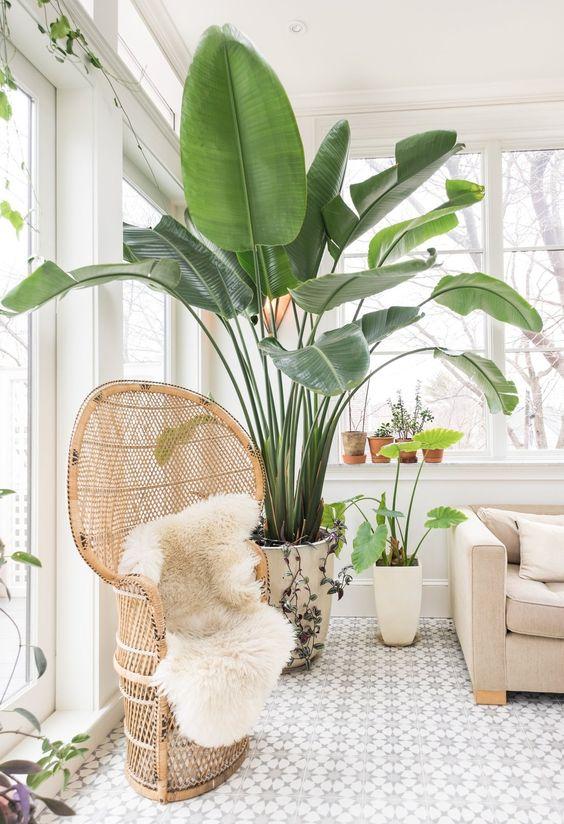 paradijsvogel plant groot