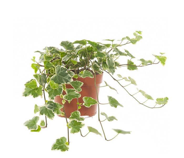 plantje Hedera helix white wonder