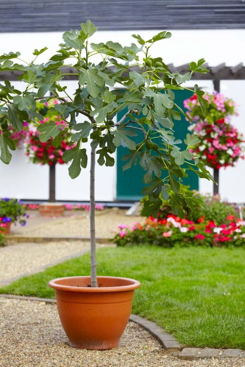 vijgenboom in tuin planten