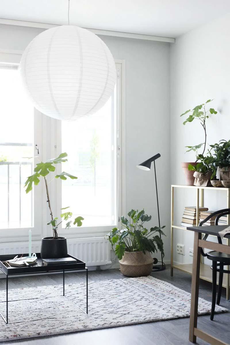 vijgenboomplantje in huis